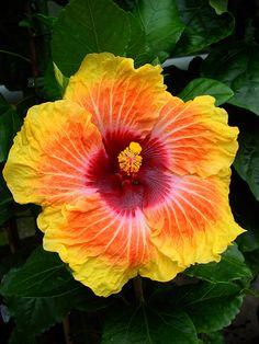 Tahitian Hibiscus 'Diplomat'