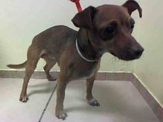 RTO SAFE!! 12/10/16 SUPER URGENT Brooklyn Center CINNAMON – A1001312 **RETURNED 12/01/16** SPAYED FEMALE, BROWN / WHITE, CHIHUAHUA SH, 4 yrs STRAY – ONHOLDHERE, HOLD FOR ID Reason STRAY Intake condition UNSPECIFIE Intake Date 12/01/2016, From NY 11417, DueOut Date 12/04/2016, I came in with Group/Litter #K16-083032.