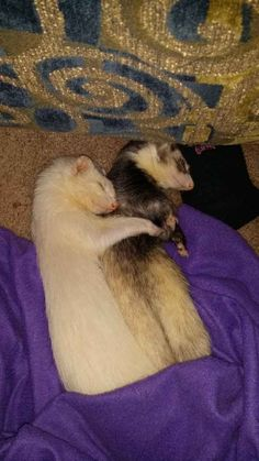 19 Reasons Ferrets Make The Most Adorable Pets You are in the right place about Cute animals with big eyes Baby Ferrets, Funny Ferrets, Pet Ferret, Chinchillas, Animals And Pets, Funny Animals, Cute Little Animals, Art Design, Exotic Pets