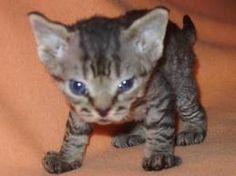 www.petclic.es la mayor tienda online de productos para #mascotas. La mayor biblioteca de contenido y consejos sobre mascotas. 1.000 consejos. 50.000 imágenes. Foto del #gato gato comun europeo #cachorros