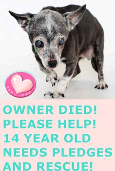 HELEN - ID#A1551944 My name is Helen and I am an unaltered female, black and white Chihuahua - Smooth Coated. The shelter thinks I am about 14 years old. I weigh approximately 6 pounds. I have been at the shelter since May 01, 2015. North Central Animal Care and Control Center at (888) 452-7381 https://www.facebook.com/photo.php?fbid=875436282536705&set=a.586267131453623.1073741826.100002110236304&type=1