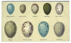 Egg identification chart. #oology #egg #birdegg
