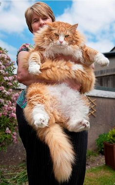 Ulric: A 30-Pound Norwegian Forest Cat (UK) it looks like its color is orange & white. From 10 of the world's largest pets.