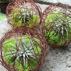 These are SOOO cool! Mini Air Plant Geo Balls from Gardener's Supply Company 😃🌿👌P. These aren't made with real copper wire (copper kills air plants), it's just 'copper-colored' wire! Types Of Succulents, Growing Succulents, Types Of Plants, Succulents Garden, Air Plants, Indoor Plants, Zebra Plant, Air Plant Display, Outdoor Planters