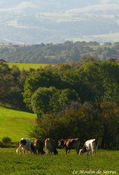 Vaches en Haute-Loire. Photo : Le Moulin de Serres #Auvergne