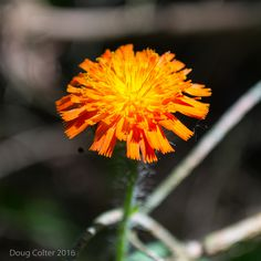 Orange hawkweed (Hieracium aurantiacum) • Family: Aster (Asteraceae) • Habitat: fields, roadsides • Height: 8-24 inches • Flower size: head is 3/4 inch across • Flower color: orange • Flowering time: June to August • Photo by Doug Colter
