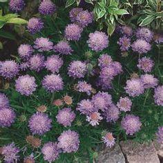 pincushion plant - Bing Images