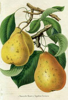 La Belgique Horticole    Pears    1857    http://www.printspast.com/selected_print.asp?PrintID=11890708=fruit-prints-belgique-horticole.htm