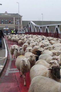 Nogmaals schapen op de Stationsbrug te Middelburg