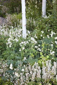 Betula utilis var. 'jacquemontii', Astrantia major 'White Giant', Tiarella cordifolia, Geranium phaeum 'Album', Dicentra spectabilis.