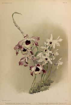 Reichenbachia :. St. Albans [England] :N.Y. [i.e. New York] :F. Sander ;R.B. Young,1892-1894.. biodiversitylibrary.org/page/40569545