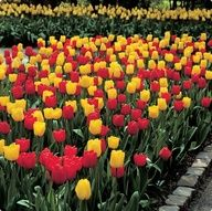 Long-Stemmed Red and Yellow Tulip  extremely good