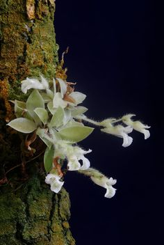 """Lankesterella ceracifolia """"This plant is tiny!  The rosette of leaves, which is itself rather unusual, is only 4 cm across and the tiny flowers are 5 mm long.  The flowers bloom three or four to a spike and bloom successively in the spring."""" Orchids in Bloom"""