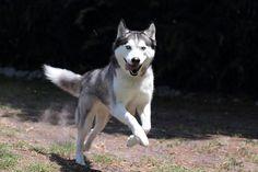 Smiling Siberian Husky running