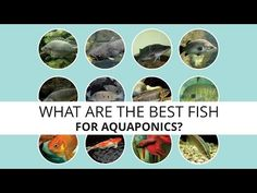 The best fish for aquaponics — desima