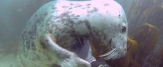 Underwater Seals Love A Belly Rub, Yes They Do