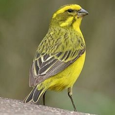 Yellow Canary Birds, Lds Org, Finches, General Conference, Amazing Nature, Yellow, Animals, Gray, Goldfinch