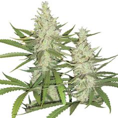 Dutch Passion Feminised Seeds - Outlaw