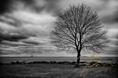 pictures of trees in black and white   Harbor in this black and white image. A lone, leafless maple tree ...