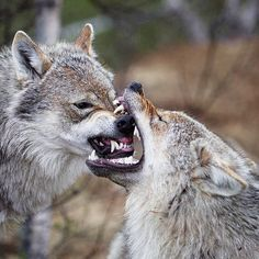 Muzzle-biting in wolves and other canids might appear to be aggressive but it really depends on context. The function of this behavior may be to confirm relationships or settle disputes and sometimes its merely a part of play. : Taral Jansen by ladyb.zoology