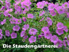 Geranium gracile-Gruppe \'Sirak\' Storchenschnabel, 60 hoch, wechselfeucht, schattig, blüht 6 - 7