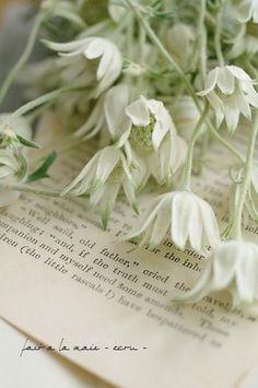 Our enchanting Flannel Flowers from the Australian bush. Inspiration Lane http://inspirationlane.tumblr.com/post/45411376495