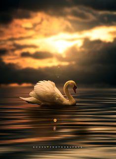 Submitted a swan . - Gracias por sus visitas y cometarios .