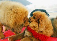 Tibetan mastiffs | ... images , Red Tibetan Mastiff price , Red Tibetan Mastiff wallpaper