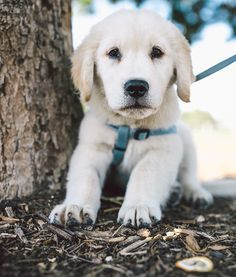 Ailo the 9wk old Golden Retriever pup! As soft as advertised. by zilkerbark