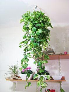 Portal Multiflora: Epipremnum pinnatum