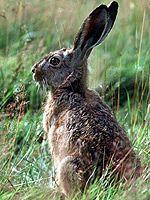 Ein Hase sitzt mit gespitzten Ohren in einer Wiese (Bild: dpa Picture-Alliance) Vegan Dinners, Rabbit, Animals, Grand Entrance, Ears, Pictures, Bunny, Rabbits, Animales