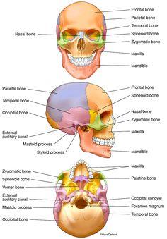 Bones of the Human Skull photo Human Skeleton Anatomy, Human Anatomy Drawing, Human Body Anatomy, Anatomy Bones, Brain Anatomy, Anatomy Study, Anatomy Art, Dental Anatomy, Medical Anatomy