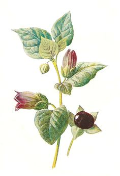 Antique Images: deadly nightshade