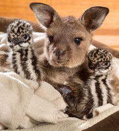 "A Young Kangaroo ""Joey"" ~ Snuggles With Emu Chicks!"