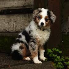Australian Shepard Pup..so hard to choose