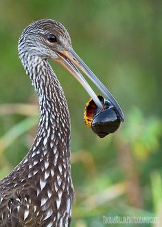 he Limpkin (also called carrao, courlan, and crying bird), Aramus guarauna, is a bird that looks like a large rail but is skeletally closer to cranes. It is the only extant species in the genus Aramus and the family Aramidae. It is found mostly in wetlands in warm parts of the Americas, from Florida to northern Argentina.