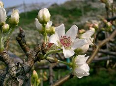 She named her spear Pear In Flower. These pears are our nashi pears, or similar. Early to flower -- flowers on naked twigs...  Wiki Commons. File:Pyrus pyrifolia var culta2.jpg