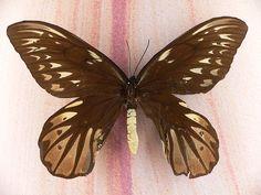 Queen Alexandra's Birdwing 2