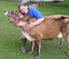 Miniature Breeds Of Cattle That Are Perfect For Small Farms Miniature Cow Breeds, Miniature Cattle, Jersey Cow Milk, Jersey Cows, Minature Cows, Types Of Cows, Longhorn Cow, Mini Cows, Amor