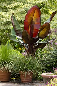 Ensete ventricosum 'Maurelii' - RED BANANA - TROPICAL PLANT - INCLUDED BECAUSE IT IS A MUST FOR AN BIG EXOTIC SHOW IN BIG CONTAINERS - CATHY T
