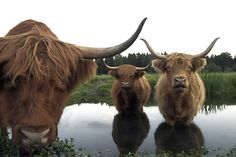 JordanPhotography: highland cows