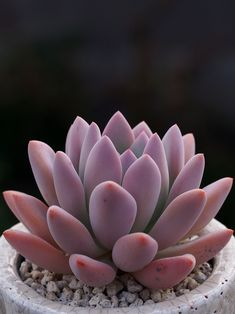 Colorful Succulents, Cacti And Succulents, Planting Succulents, Cactus Plants, Garden Plants, House Plants, Planting Flowers, Potted Plants, Echeveria