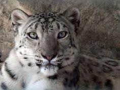 Stora katter - Bilder på skrivbordet: http://wallpapic.se/djur/stora-katter/wallpaper-32258