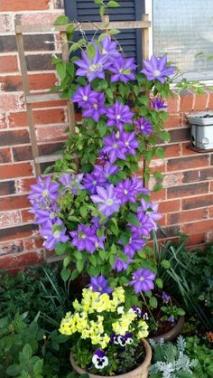 H.F.Young Clematis