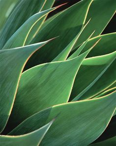 Photography: The Perfect Gift for Dad. See more from our Father's Day Photography Collection at http://www.ugallery.com/fathers-day. Original art for sale at UGallery.com | Agave by Mark Yaggie | $200 | photography | 20 h x 16 w | http://www.ugallery.com/photography-agave-21807