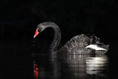 Black Swan, Cygnus atratus, from Queanbeyan, New South Wales, Australia by Leo via Flickr (cc-by-nc-sa): http://www.flickr.com/photos/0ystercatcher/8587731359/