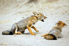 Grey zorros (also known as Patagonian foxes), in the Peninsula Valdés, #Argentina #Patagonia #travelingUP