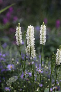 Canadian burnet. Sanguisorba canadensis. June-Sept. Needs some moisture, and can grow in partial shade. Good for nearer the house?