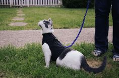 The best cat harness should be lightweight, adjustable and made from a comfortable material. Adjustable harness allows the cat to grow in it. Leash Training, Training Your Dog, Crazy Cat Lady, Crazy Cats, Best Cat Harness, Dachshund, Flea Shampoo For Cats, Dog Shots, Adventure Cat