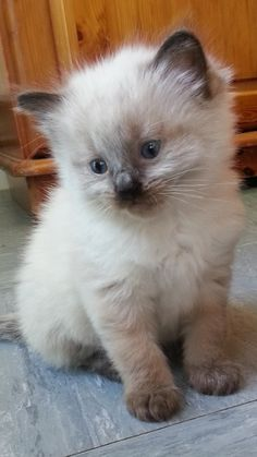 Many responsible cat breeders will keep their kittens longer, and make sure they…